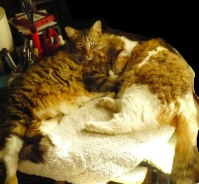 coon cat brothers