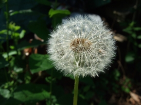 Perfect Dandelion Puff
