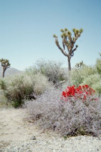 Joshua Tree red flowers
