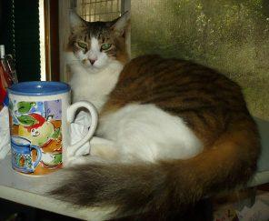 20 pound coon cat